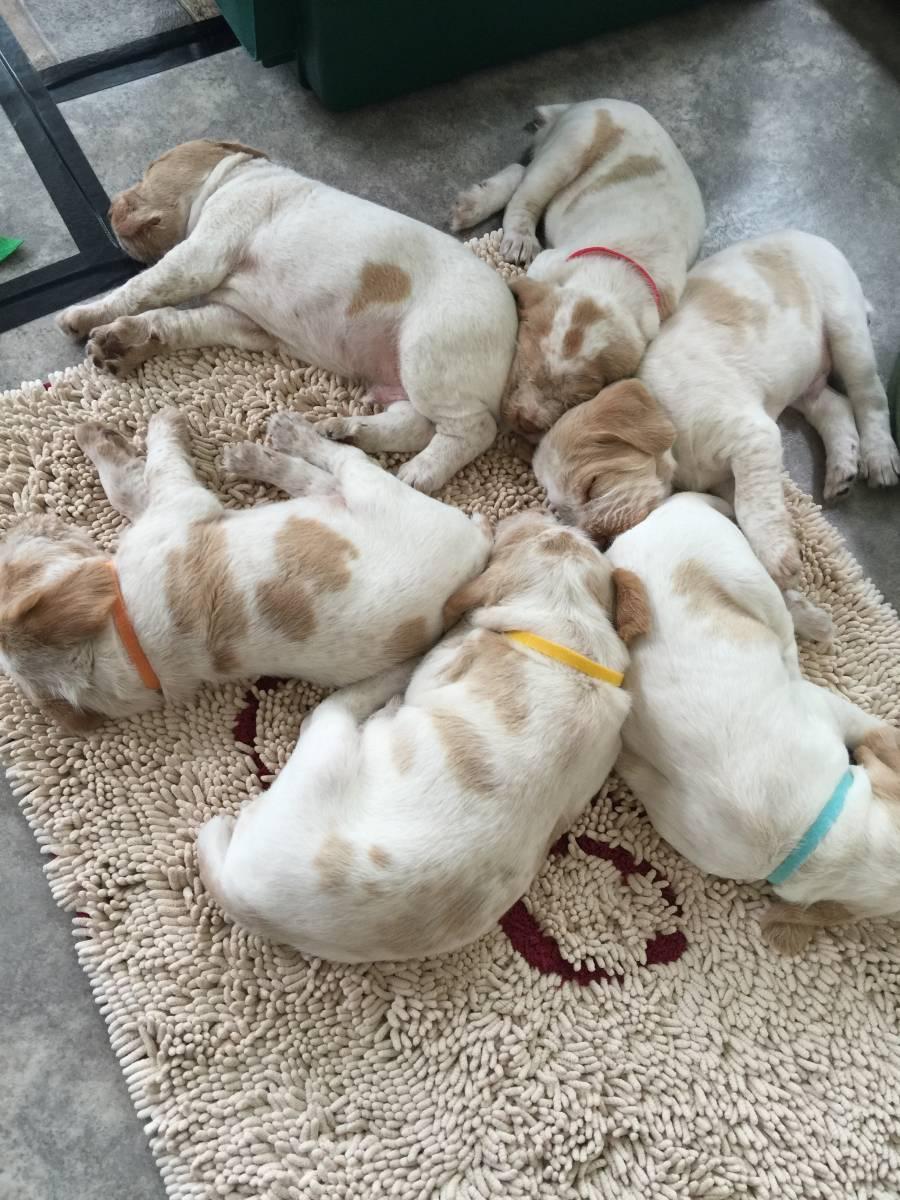 Sleeping Spinone puppies